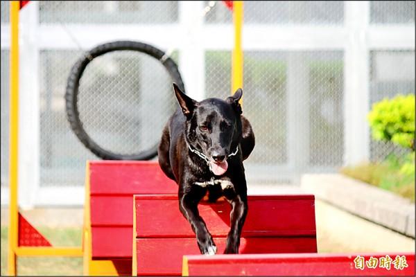 經由犬訓班訓練過的狗兒,既乖巧又親人。(記者黃欣柏攝)