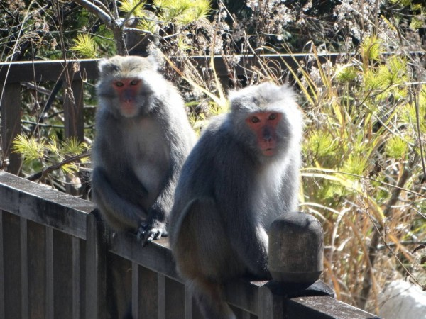 台灣獼猴。(羅東林管處提供)