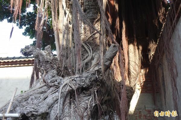 「老紳樹」樹幹有貌似「領結」形狀,加上長長的榕鬚就像是長者,被前縣長翁金珠命名為「老紳樹」。(記者劉曉欣攝)