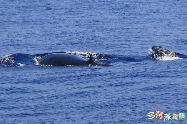 賞鯨船業者「多羅滿賞鯨」今日在臉書發文指出,上午8點半在出海時偶遇一對母子對鯨魚,在小心比對後發現,這對母子是罕見的布氏鯨。(圖擷自「多羅滿賞鯨」臉書)