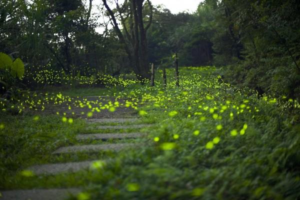 和美山共有30多處的螢火蟲聚集區。(張聖賢提供)