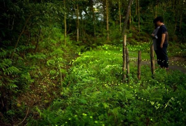 和美山螢火蟲季即日起至5月1日,有講師及志工導覽。(張聖賢提供)