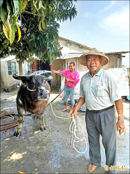 臨行前陳保來父子幫老牛最後一次洗澡沖涼。(記者廖淑玲攝)