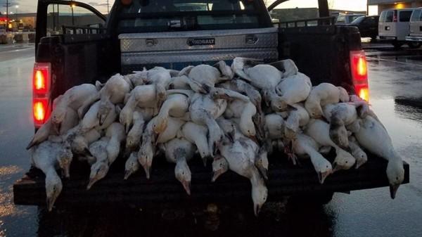 美國愛達荷州本月7日發生怪異現象,民眾當時發現有51隻雁陸續從天空掉落至愛達荷佛斯市,且全數死亡。(圖擷取自美國福斯新聞)