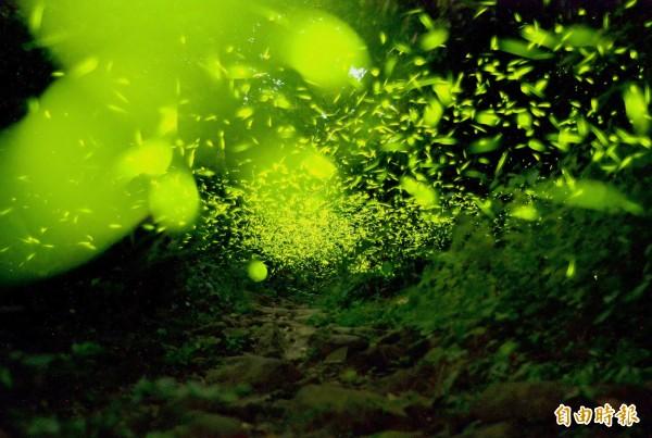 梅嶺的螢火蟲已大發生,成群飛舞。(記者吳俊鋒攝)