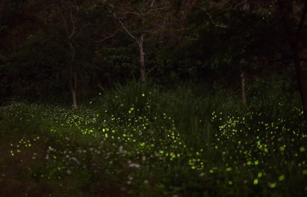 花壇鄉難以計數的火金姑成群飛舞,宛若一條壯觀的「螢河」。(陳慶勇提供)