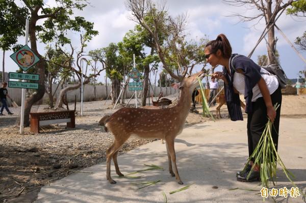 「鹿境」有「墾丁小奈良」之稱,讓你不用出國也能跟梅花鹿「玩親親」。(記者潘自強攝)