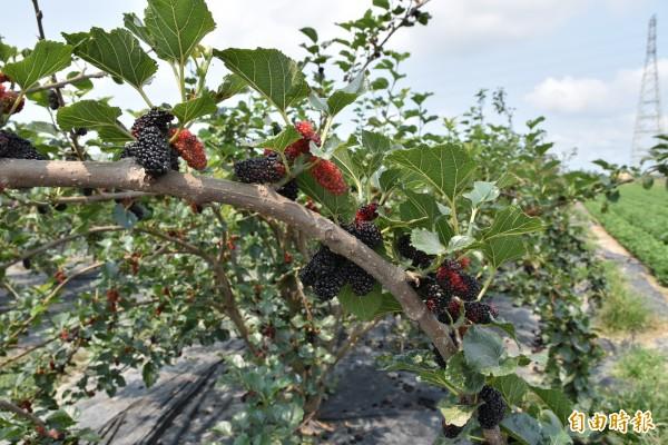水林果樹產銷班長黃正源培育出的「水林黑鑽石」桑椹,果實大且保留本土桑椹的香、甘、甜。(記者黃淑莉攝)