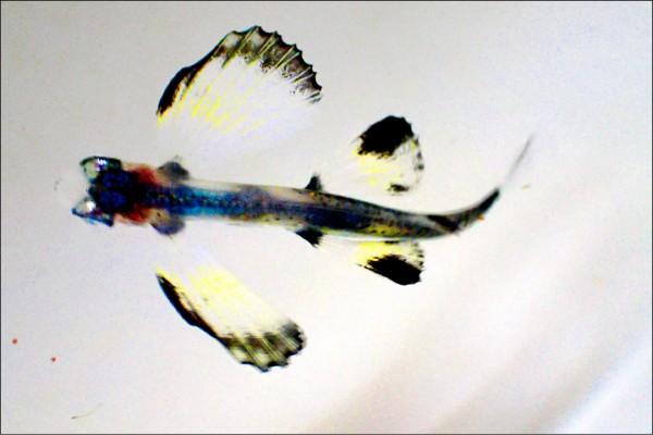 飛魚寶寶「滿月」,長到一公分,身軀透明,通體呈現美麗的紅、藍色。(記者蔡宗憲翻攝)