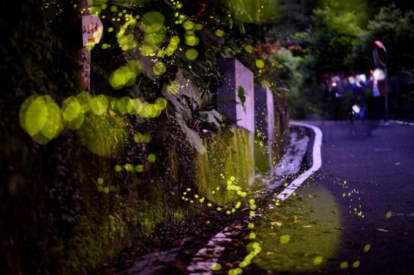 宜蘭縣礁溪鄉近期進入螢火蟲季,讓山谷變身絕美星空。(石世民提供)