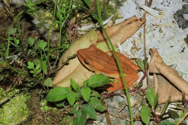 屬於外來種的斑腿樹蛙,對環境影響力強,近年入侵宜蘭冬山鄉淋漓坑園區,已威脅到當地的原生樹蛙族群。(圖由宜蘭縣政府提供)