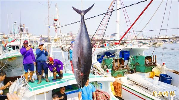 屏東東港籍漁船「魚來滿六號」昨捕獲今年「第一鮪」,重量要待週日拍賣當天,由拍賣官縣長潘孟安揭曉。(記者陳彥廷攝)