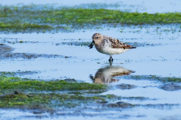 琵嘴鷸4月初現蹤台南將軍區廢棄的鹽埕濕地後,到今天都還未離開。(黃文博提供)