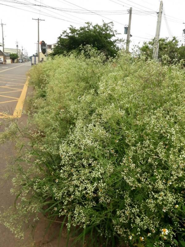 農業局表示,銀膠菊最喜歡長在未整理的荒地。(記者蘇金鳳翻攝)