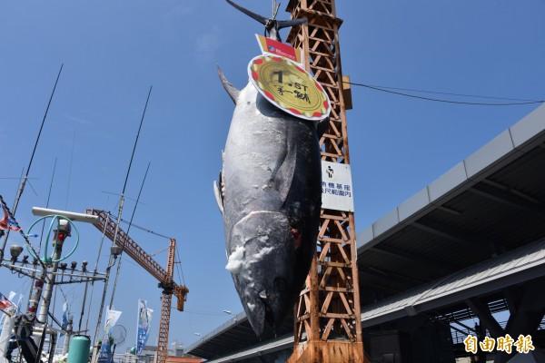 今年的「屏東第一鮪」重量200多公斤。(記者葉永騫攝)