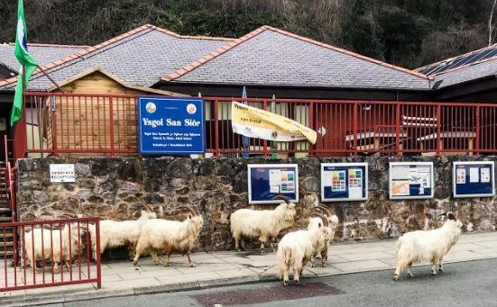 這些喀什米爾山羊大批闖入小鎮住宅區。(圖擷自《每日電訊報》)