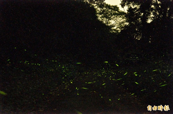 西拉雅國家風景區山區賞螢秘境多,在沒有任何光害的產業道路旁隨處可見,一關燈就有螢火蟲在身旁飛舞。(記者王涵平攝)