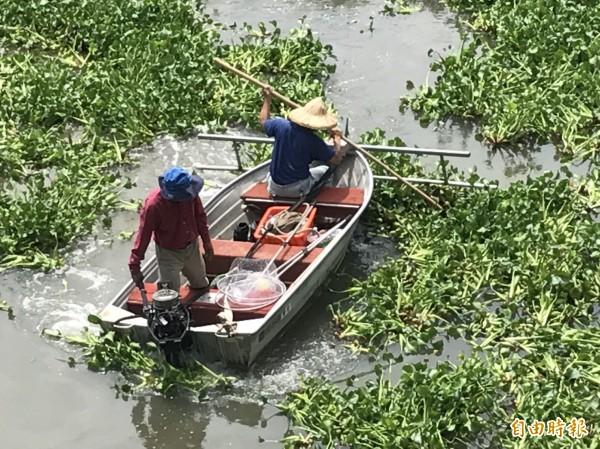 新竹市政府城銷處執行「斷袋計劃」,出動人工及怪手等方式清除布袋蓮,經過2個多月已清出500公噸的布袋蓮。(記者洪美秀攝)