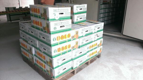 台南鳳梨進入盛產期,南市農業局表示,外銷中國持續進行,截至今年3月止,已外銷中國6876公噸,中國也未禁止台灣鳳梨進口。(圖由南市農業局提供)