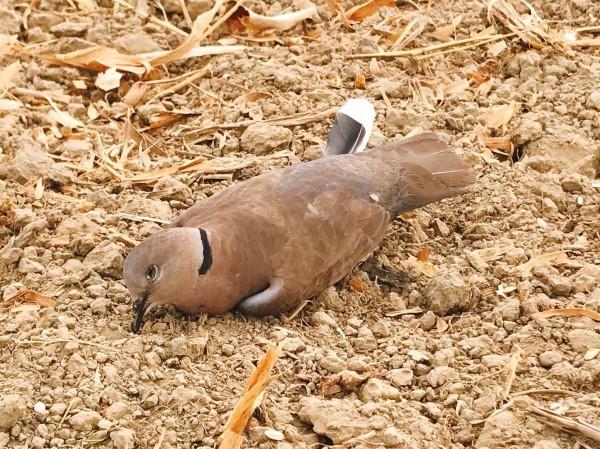 嘉義縣水上鄉大量鳥類死亡,現場鳥屍遍野怵目驚心。(資料照)