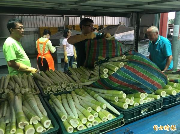 南庄鄉農會表示,今年桂竹筍產量受氣候異常及農路中斷影響,將創20年新低。(記者鄭名翔攝)