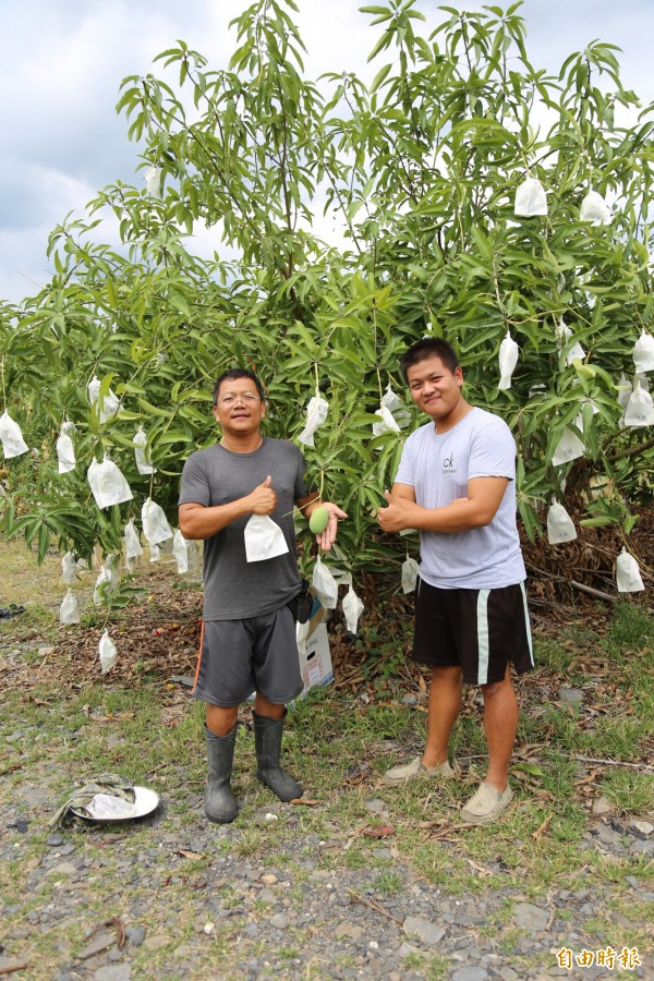 潘上至與父親潘連進以一枝條留一果方式種植芒果,並為芒果套袋,讓每顆芒果長得格外碩大肥美。(記者邱芷柔攝)