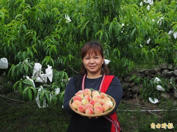 台東延平、海端兩鄉熱帶水蜜桃進入產季。(記者王秀亭攝)
