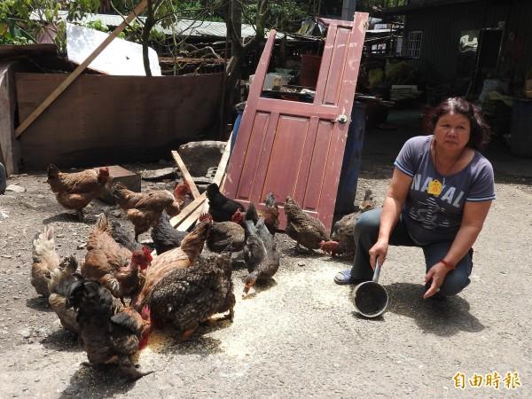 阿蘭平常餵豬、養雞販售,支撐家中經濟。(記者佟振國攝)