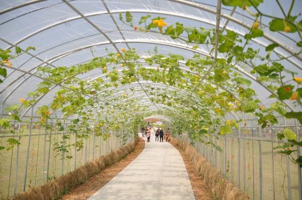 農民批評,綠博瓜瓜隧道各式瓜類的藤蔓離溫室太近,根本是要讓作物因高溫直接枯死,很不專業。(讀者提供)
