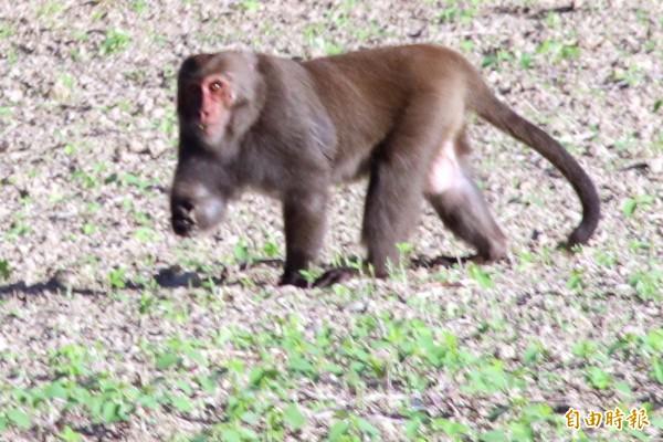 獼猴肆虐農作。(記者蔡宗憲攝)