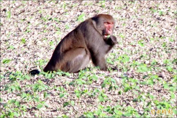 屏東縣滿州鄉近兩年台灣獼猴到處肆虐啃食農作,圖為猴子啃食黑豆。(記者蔡宗憲攝)