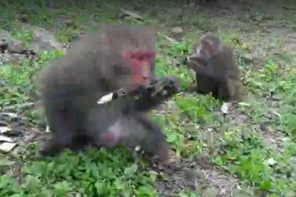 滿州猴害肆虐。(記者蔡宗憲翻攝)