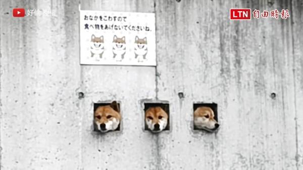 從三個洞口同時探出頭的可愛柴犬,萌翻網友。(圖片由好倫授權提供使用,以下皆同)