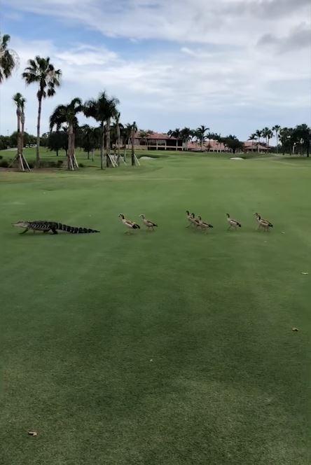 有美國民眾日前參加棕櫚灘花園市的高爾夫球賽時,意外目擊一大群黑雁追趕鱷魚的奇景。(圖擷自YouTube)