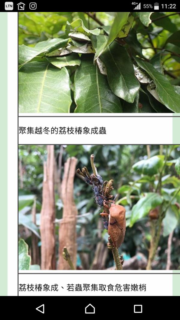 國內對荔枝椿象的研究主要為防治技術。(翻攝自台南區農改場網頁)