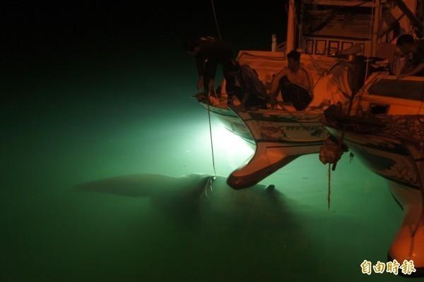 澎湖漁船捕獲的這尾鬼蝠魟翼長約5公尺,估計重約1000斤,夜間在水下燈光照射下更顯神秘。(記者劉禹慶攝)