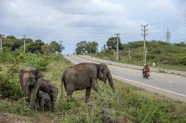 斯里蘭卡野生動物保護區傾倒垃圾問題嚴重,使得大象仰賴垃圾為生。圖僅示意,與本新聞無關。(彭博)