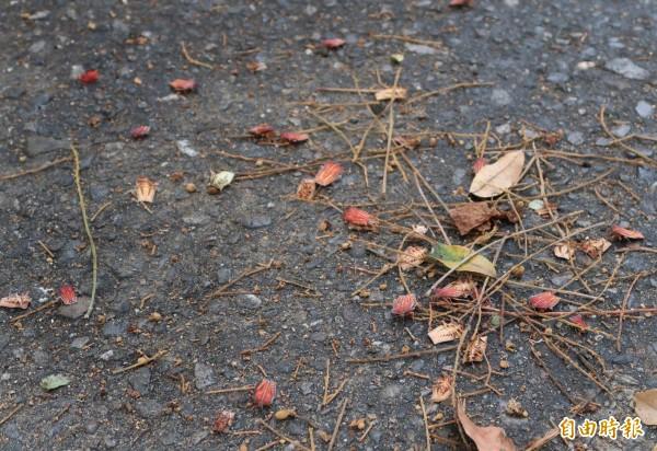 荔枝椿象危害甚烈,彰化縣政府決定用統籌分配款對抗這波蟲蟲危機。(記者張聰秋攝)