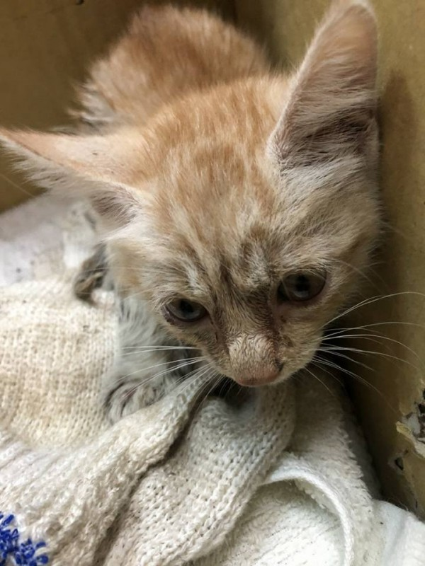 小貓咪從黑暗潮濕的水溝被救出時,露出無辜的神眼萌翻了,當下融化每個人的心!(朱健銘提供)