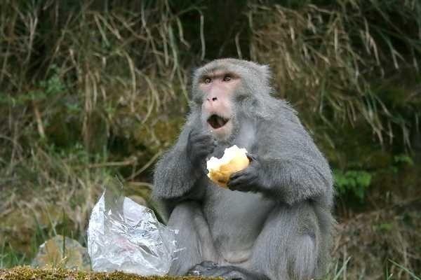 南投縣獼猴啃咬、破壞作物的狀況迭起,農友們紛紛架設電圍網防治。(玉管處提供)