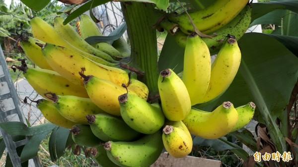 最近香蕉因為盛產,價格下跌。(記者黃明堂攝)