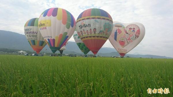 「台灣國際熱氣球嘉年華」即將登場,「飛越金色稻浪」展球揭幕。(記者陳賢義攝)