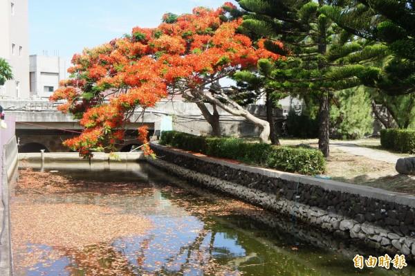 透過湖光倒影,讓花朵大爆發的鳳凰木格外具有詩意。(記者劉禹慶攝)