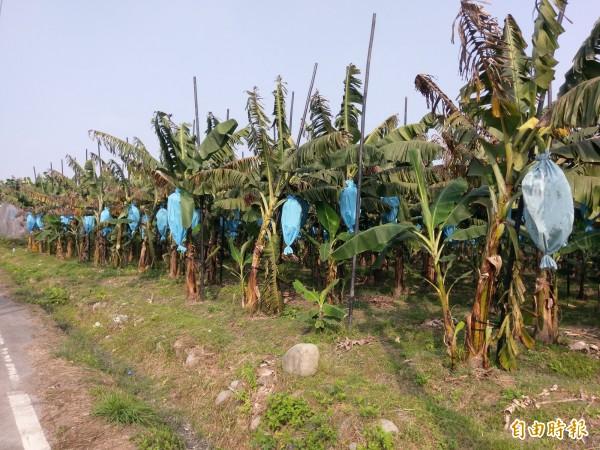 夏天香蕉滯銷,農民認為除盲目搶種外,香蕉水分相較西瓜等瓜果類水果少,也是買氣下滑原因。(記者劉濱銓攝)