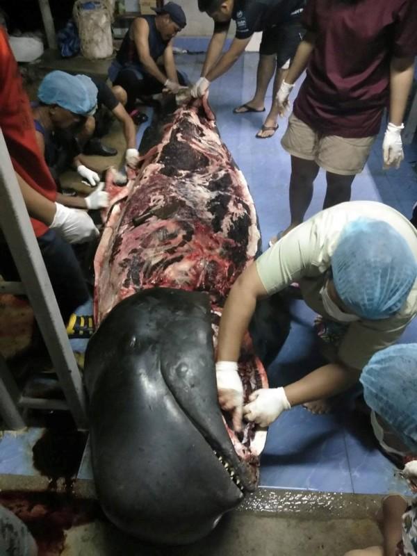 解剖後赫然發現,牠胃裡竟有重達8公斤的80個塑膠袋,解剖畫面曝光令人震驚。(路透)
