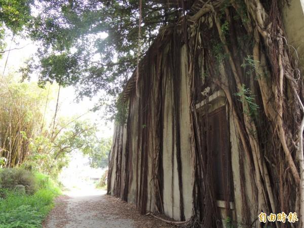 傳原通訊所歷史建築與老樹共生,迷幻奇景宛如知名日本動畫電影《天空之城》實境。(記者洪瑞琴攝)