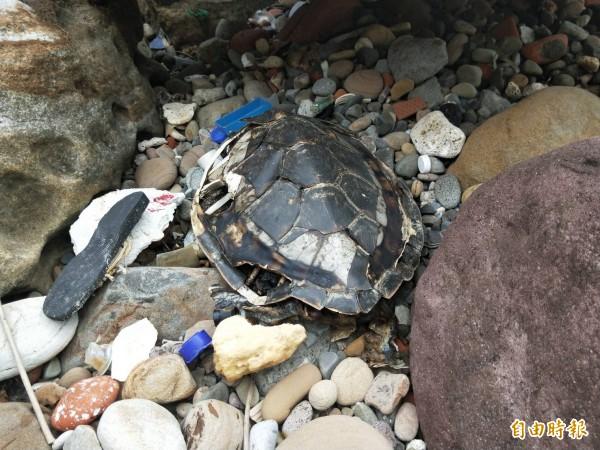 民眾淨灘過程中發現1隻死亡多時的海龜,眾人心情都非常沉重。(記者林欣漢攝)