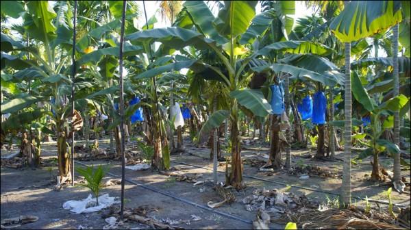 今年少雨天熱,部分農產大豐收,其中香蕉因農民搶種,產量暴增價跌,農委會出手收購搶救。(資料照)