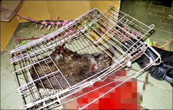 可憐的小山豬被飼主連籠自頂樓丟下身亡。(記者許國楨翻攝)