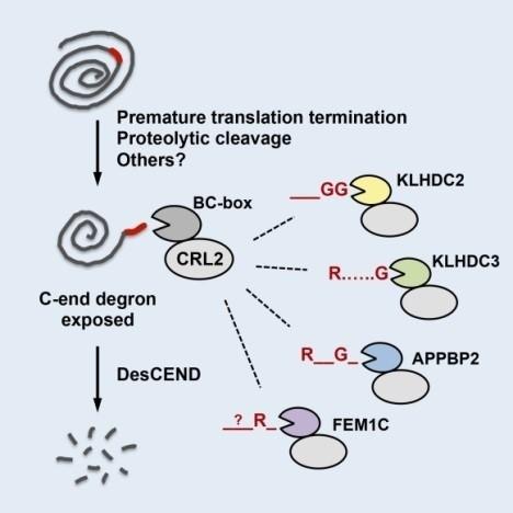 缺陷蛋白質會被CRL2辨識並降解。CRL2有不同的受器,可一對一找出缺陷蛋白質尾端的特定短胜肽。(圖由中研院提供)